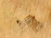 2-lions